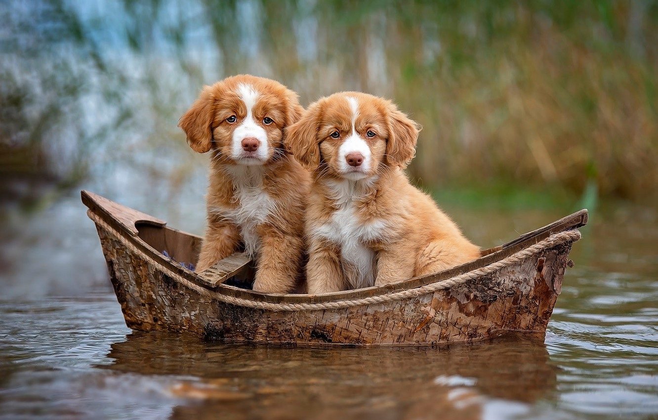 Photo wallpaper dogs, look, water, nature, background, boat, puppies, red, a couple, journey, two, cuties, pond, swimming, …