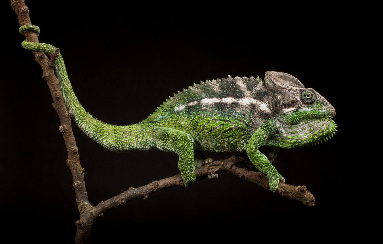 Photo wallpaper chameleon, branch, black background
