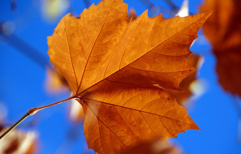 Photo wallpaper autumn, sheet, maple