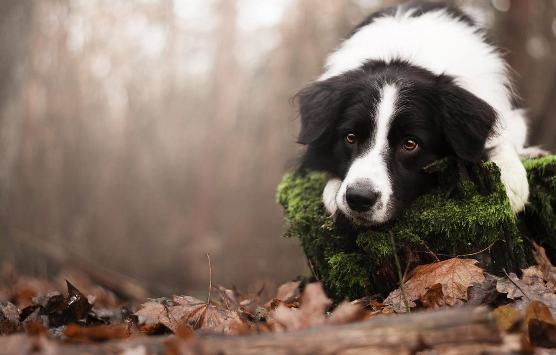 Photo wallpaper autumn, look, nature, animal, foliage, moss, stump, dog, dog, the border collie
