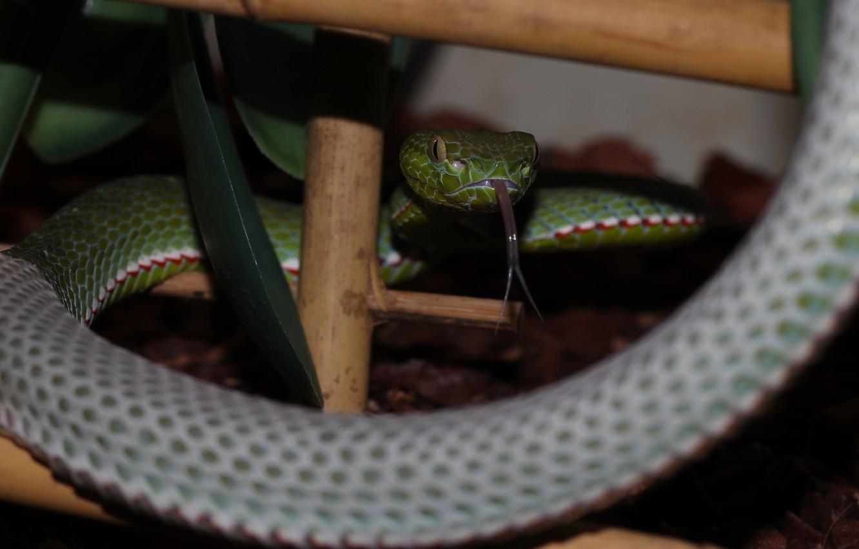 Wallpaper Green Snake Macro Pit Viper Images For Desktop