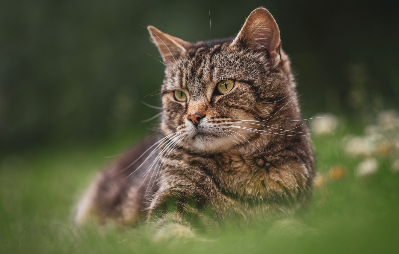 Photo wallpaper cat, summer, grass, cat, look, face, nature, pose, the dark background, grey, glade, portrait, striped, …