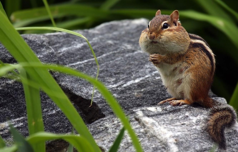 Photo wallpaper fur, Chipmunk, rodent, cheeks