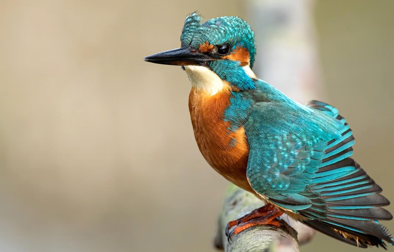Photo wallpaper bird, branch, Kingfisher, bright
