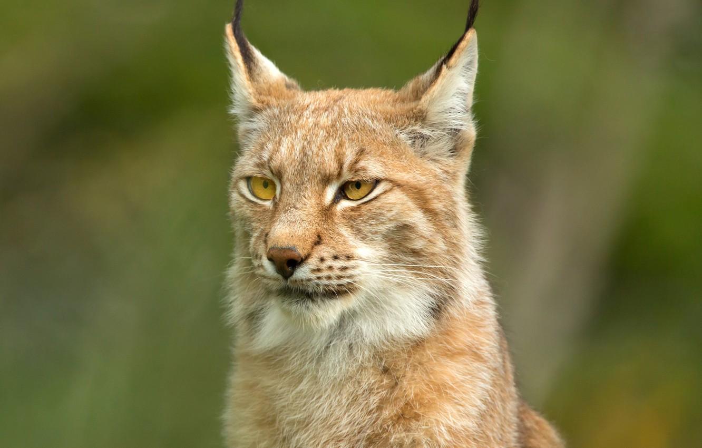 Photo wallpaper face, background, portrait, lynx, wild cat
