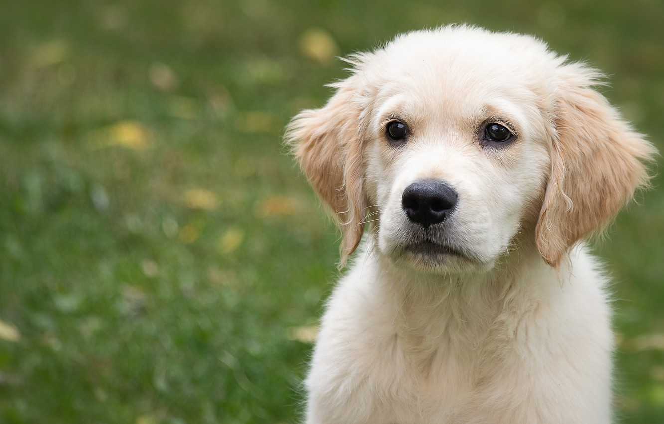Wallpaper Look Face Background Portrait Dog Baby Puppy