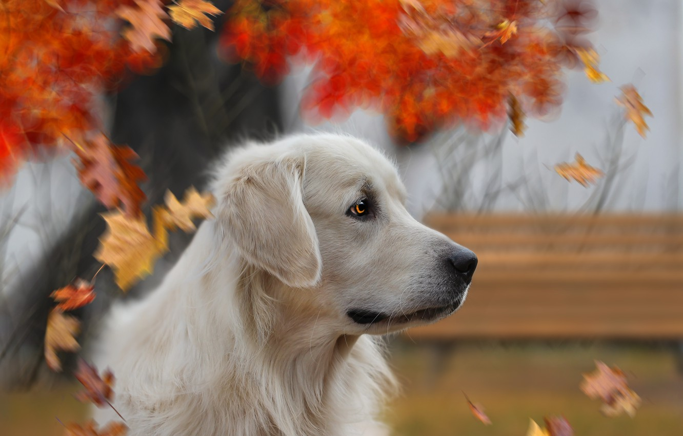 Photo wallpaper autumn, look, background, each, dog