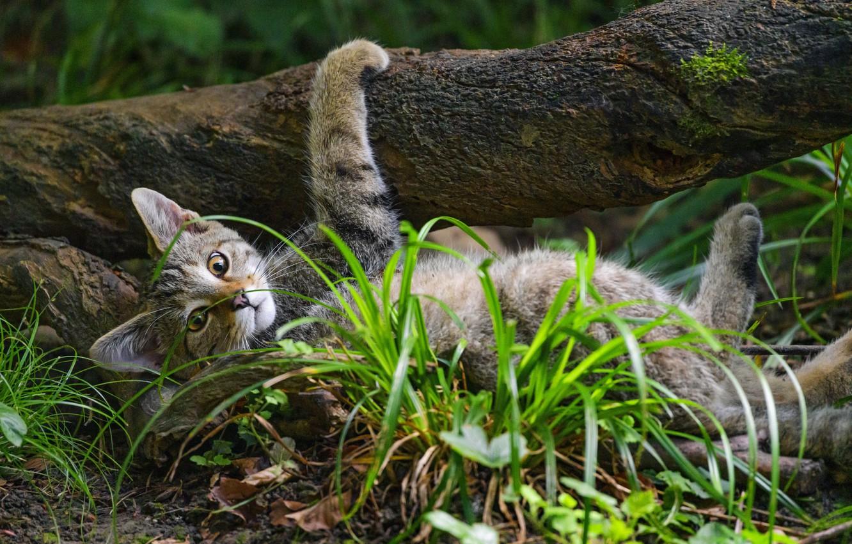 Photo wallpaper grass, pose, tree, wild cat