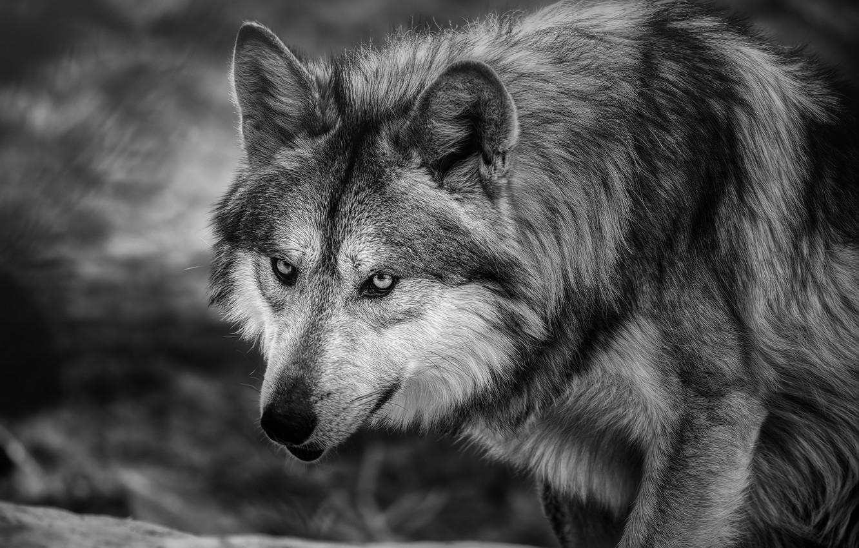 Photo wallpaper face, wolf, predator, black and white, monochrome