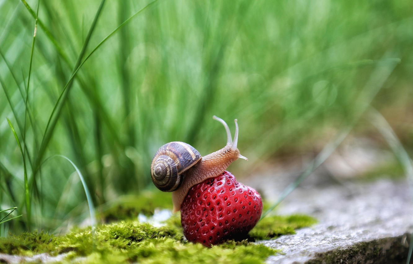Photo wallpaper grass, photo, snail, strawberry