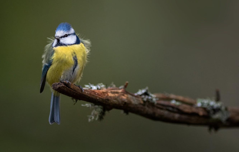 Photo wallpaper bird, branch, blue tit, blue tit