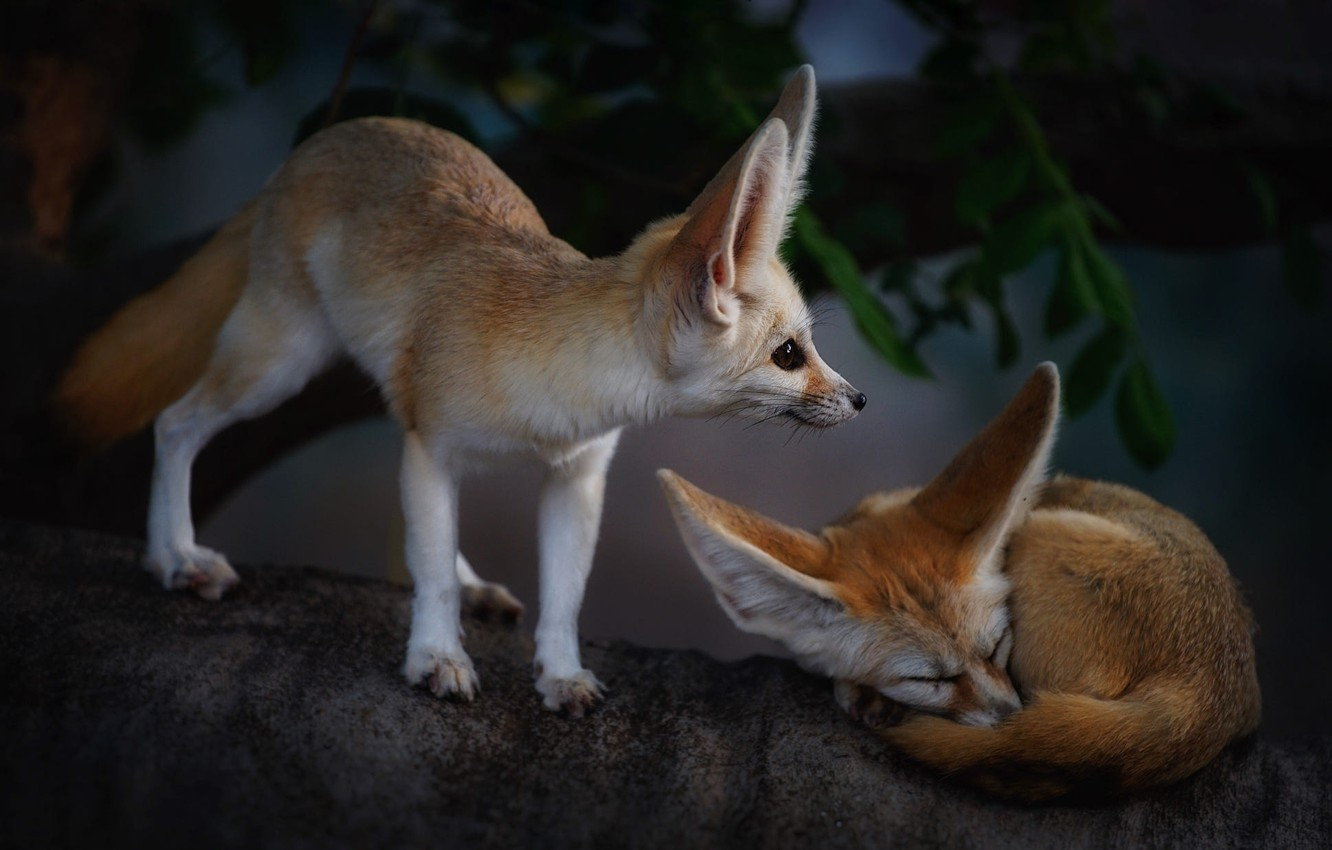 Photo wallpaper animals, tree, Fox, a couple, Fenech