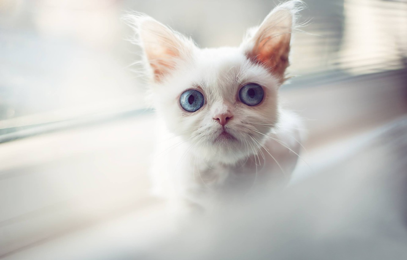 Photo wallpaper white, look, muzzle, kitty, blue eyes, cat