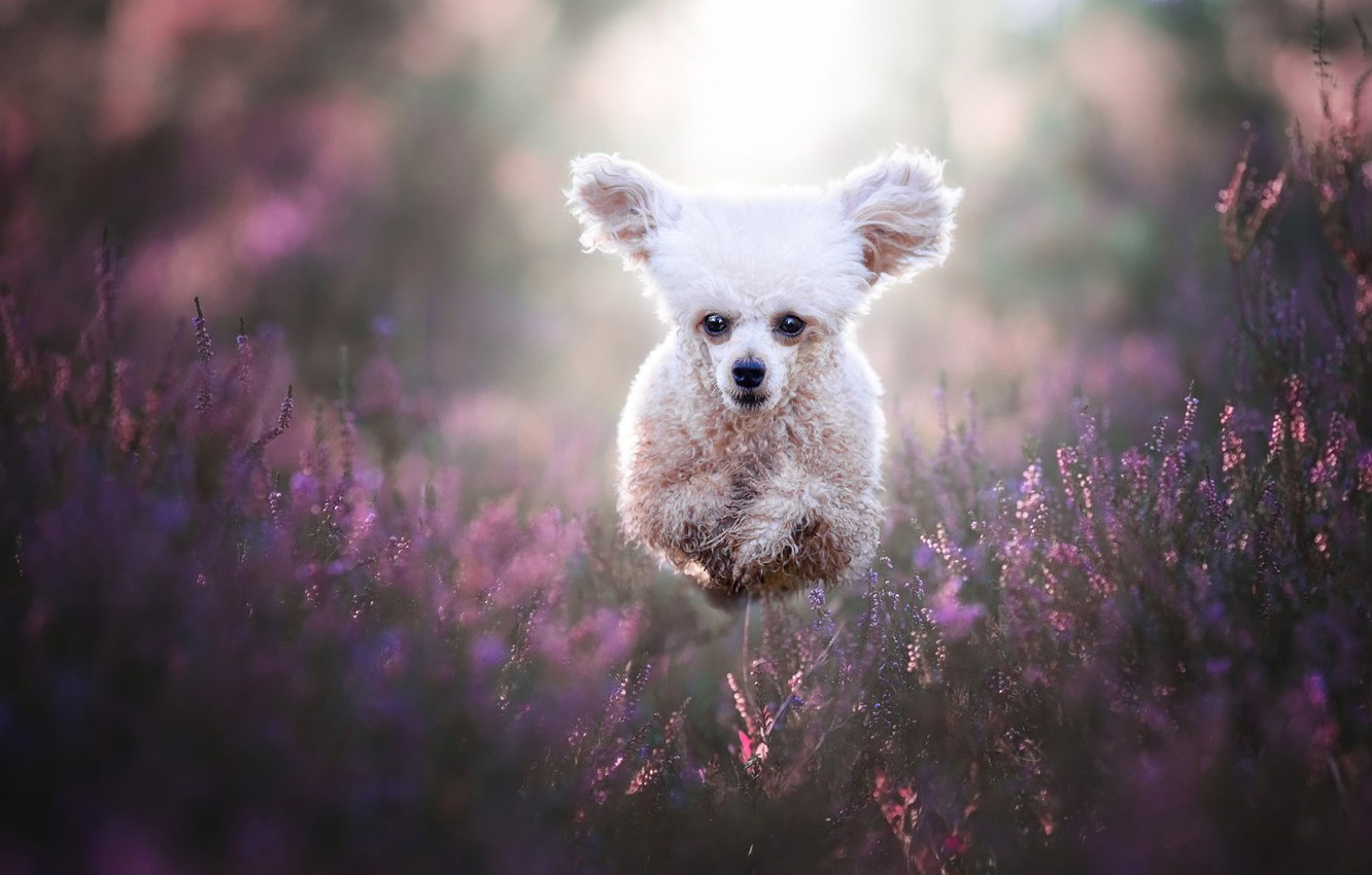 Photo wallpaper white, face, joy, happiness, flowers, nature, pose, jump, glade, dog, running, puppy, white, walk, ears, …