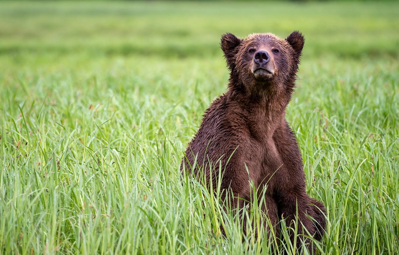 Photo wallpaper grass, look, nature, pose, glade, bear, bear, sitting, brown
