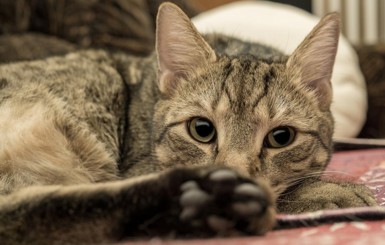 Photo wallpaper cat, cat, look, face, pose, lies