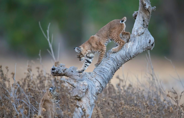 Photo wallpaper snag, wild cats, lynx