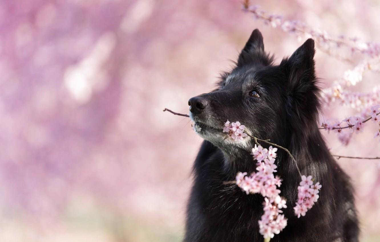 Photo wallpaper nature, cherry, animal, dog, branch, spring, profile, flowering, dog, Belgian shepherd