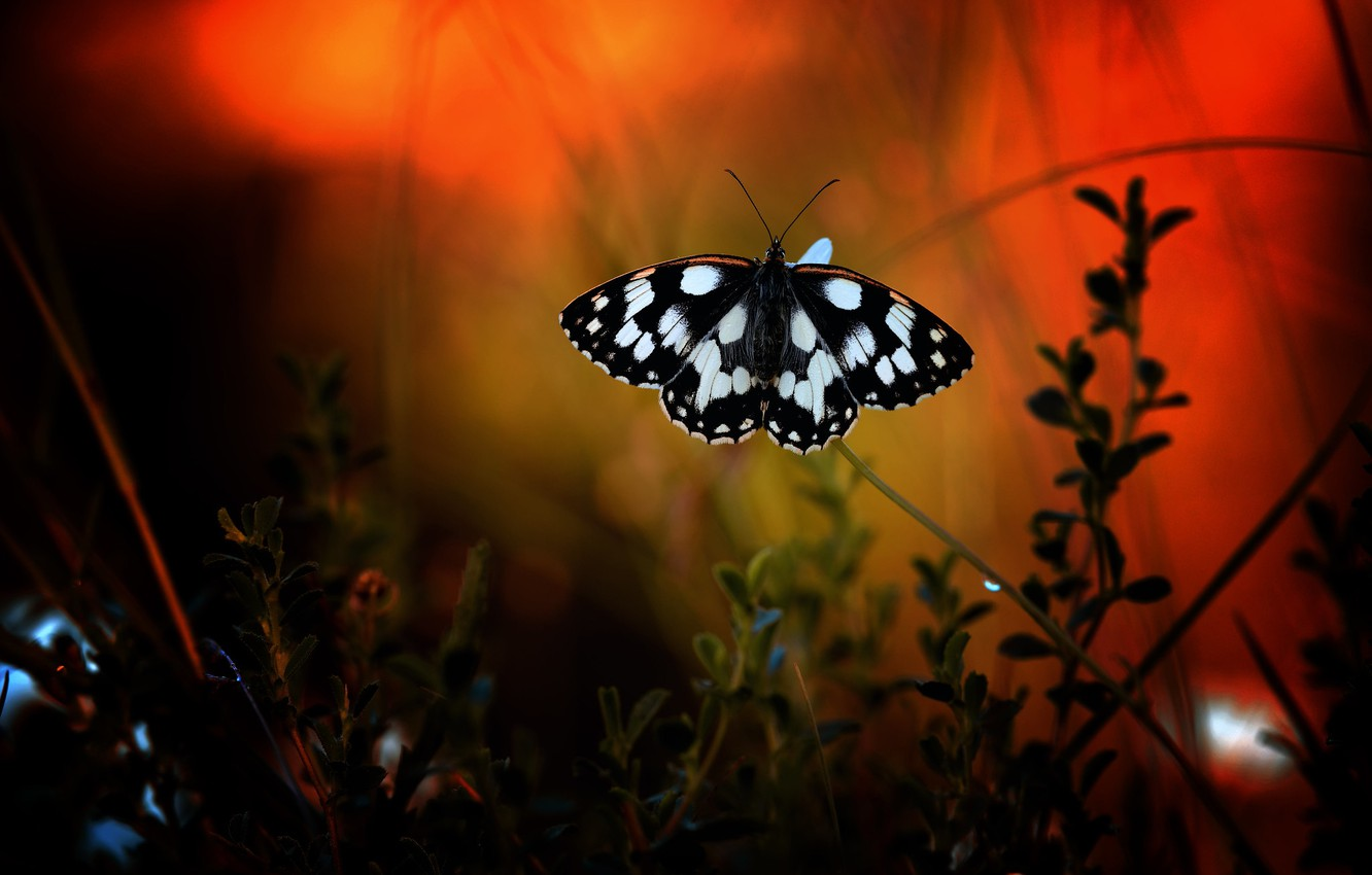 Wallpaper Macro The Dark Background Butterfly Black And White Plants Insect Red Background Bokeh Images For Desktop Section Makro Download