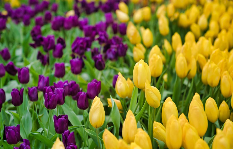 Photo wallpaper flowers, spring, yellow, purple, tulips