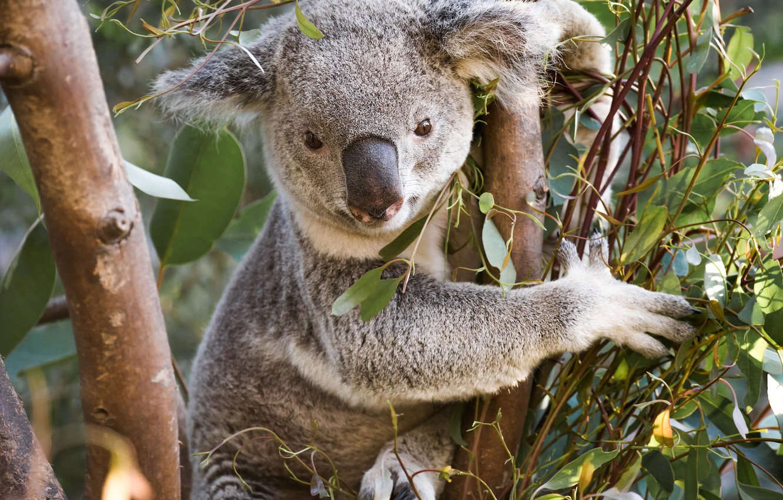 koala derevo evkalipt