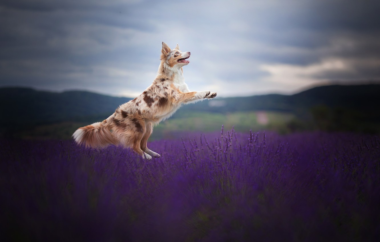 Photo wallpaper field, joy, jump, dog, lavender, The border collie