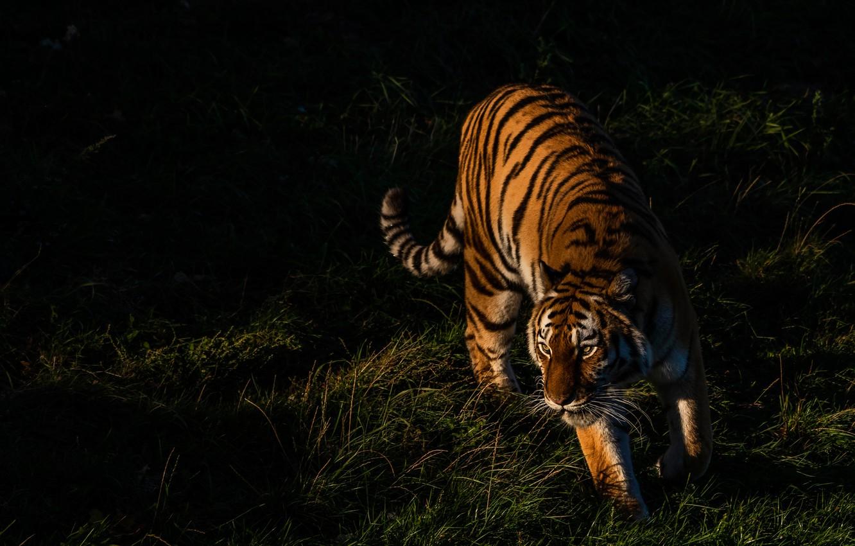 Photo wallpaper grass, light, tiger, pose, the dark background, walk