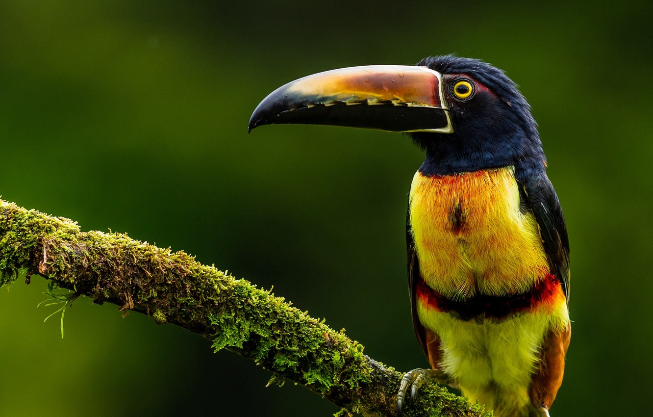 Photo wallpaper bird, feathers, tucan, striking colors