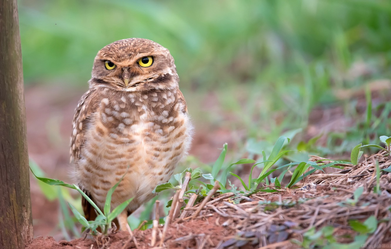 Photo wallpaper nature, owl, bird, bokeh, Burrowing owl