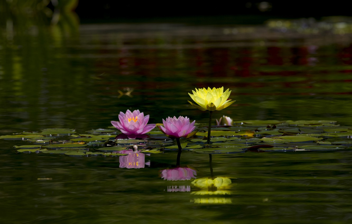 Photo wallpaper leaves, water, flowers, nature, lake, pond, reflection, pink, water lilies, pond, green background, yellow, Nymphaeum, …
