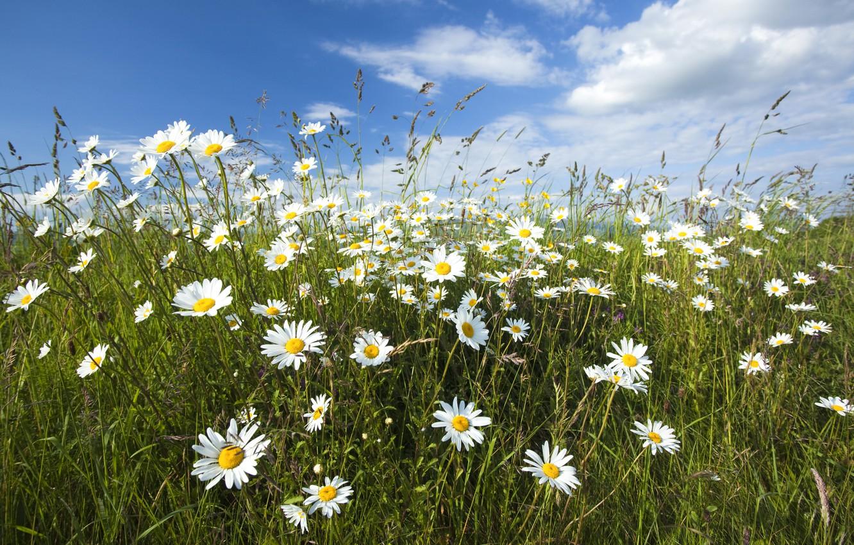 Photo wallpaper grass, chamomile, cloud.