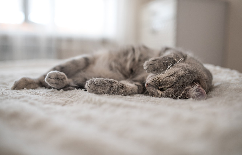 Photo wallpaper cat, cat, mustache, legs, wool, lies, fluffy