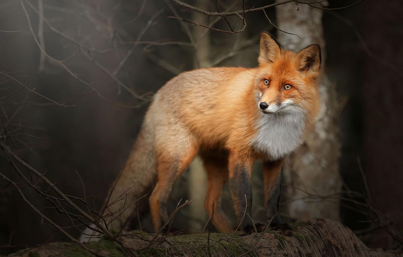 Photo wallpaper forest, branches, Fox, Fox