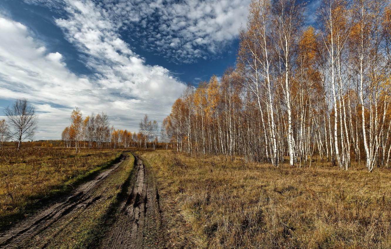 Photo wallpaper road, field, birch, grove