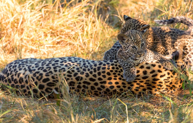 Photo wallpaper grass, light, glade, leopard, kittens, kids, wild cats, trio, leopards, cubs, mother, two kittens