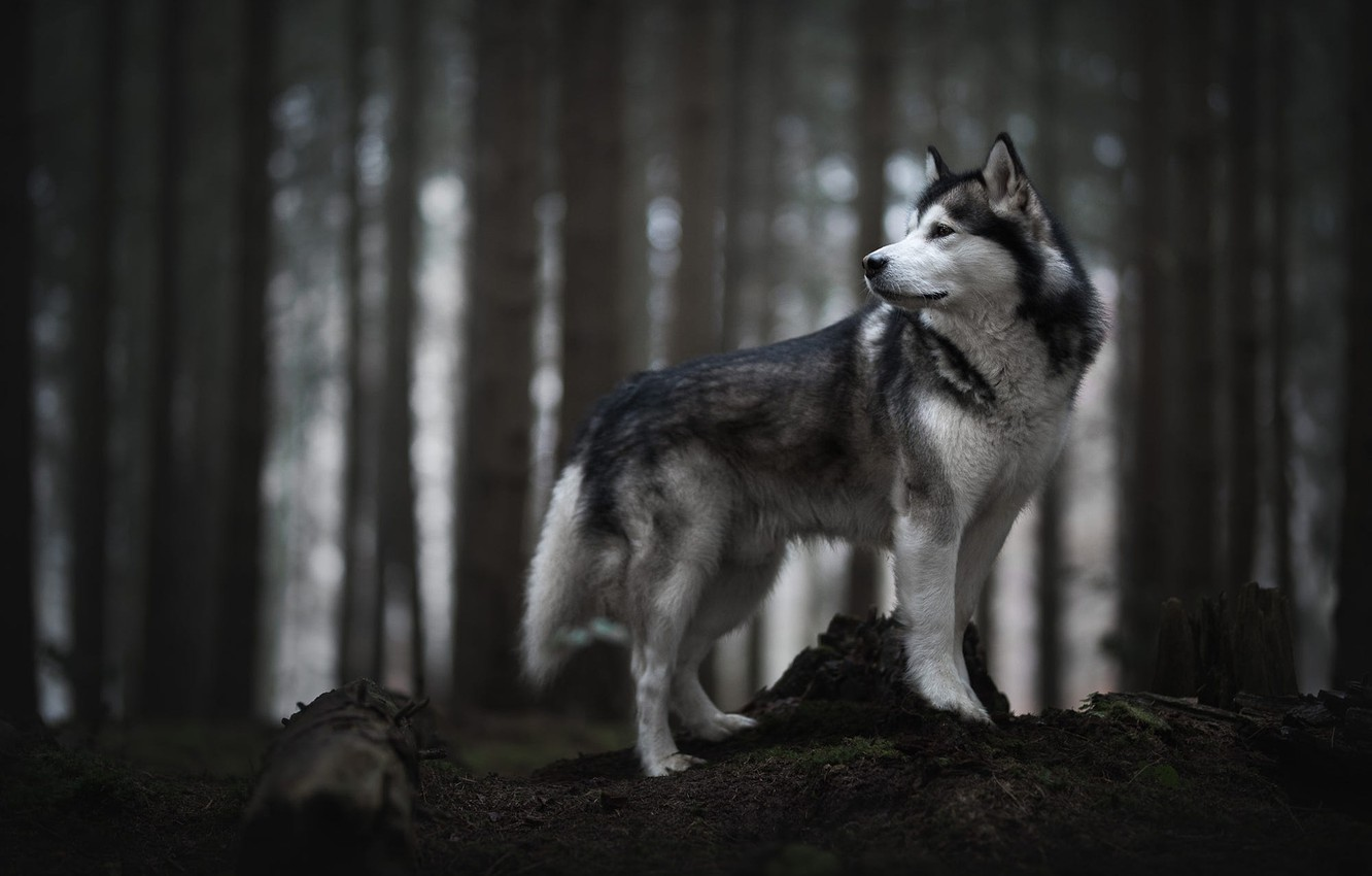 Photo wallpaper forest, look, face, trees, nature, pose, the dark background, trunks, stump, dog, profile, log, grey, …