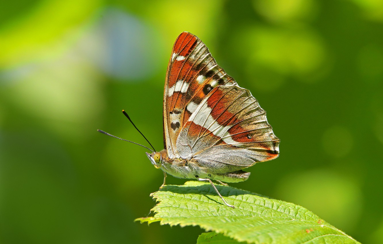 Photo wallpaper macro, sheet, background, butterfly, wings, Perelivania willow