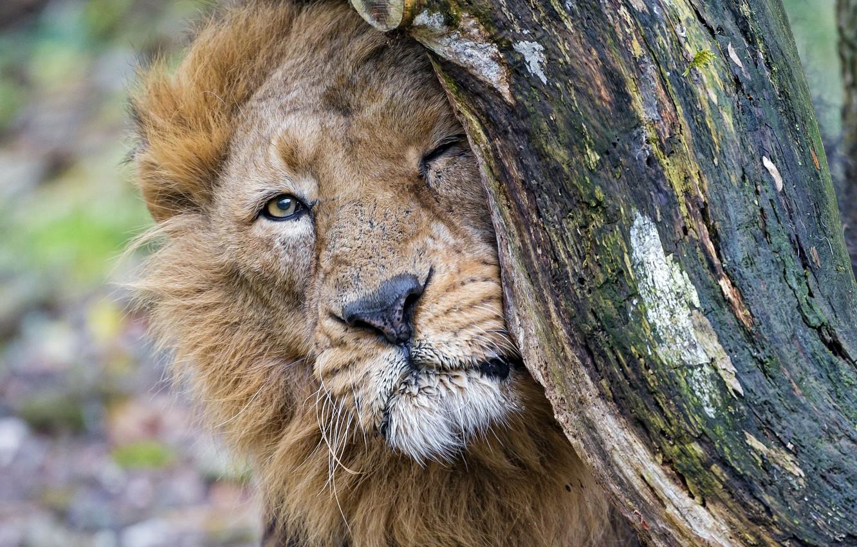 Photo wallpaper face, tree, predator, Leo, big cat, rubs