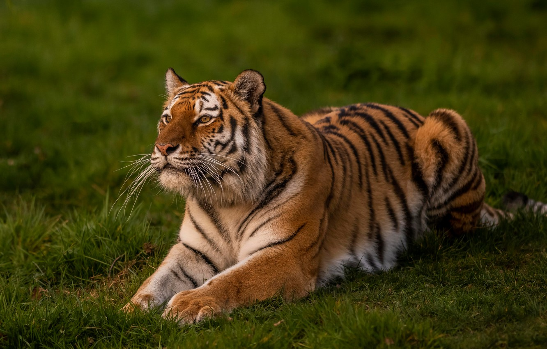 Photo wallpaper greens, grass, look, nature, tiger, pose, lies, wild cat