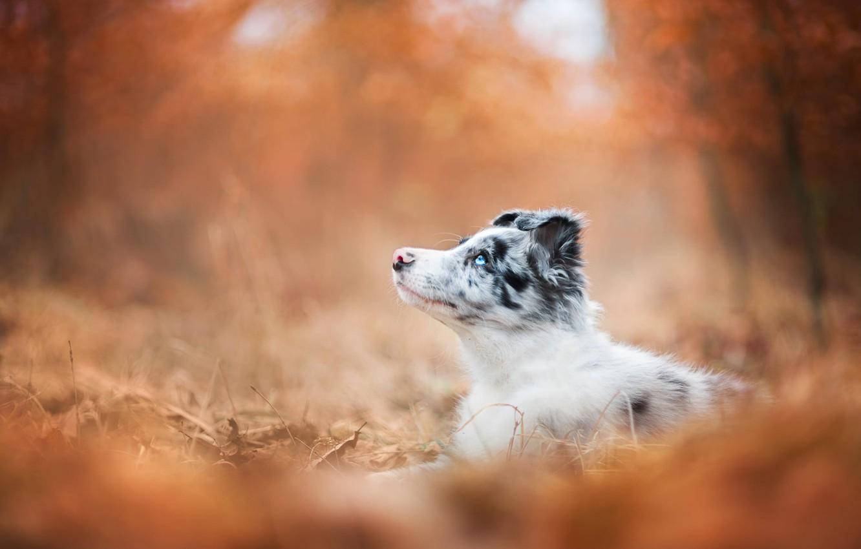Photo wallpaper autumn, forest, look, orange, Park, background, foliage, dog, baby, puppy, lies, profile, bokeh, blue-eyed, Australian …