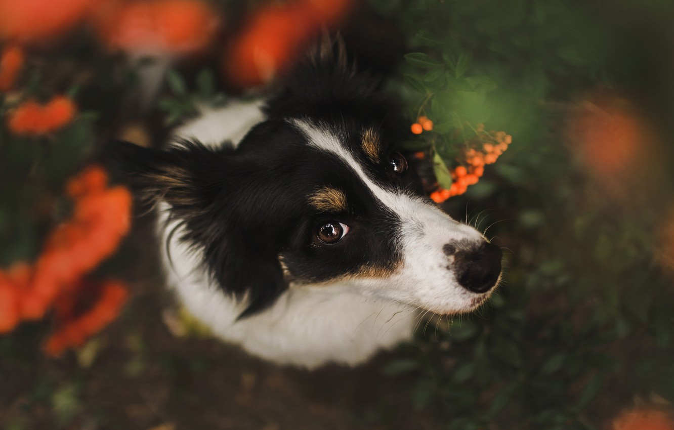 Photo wallpaper autumn, look, face, berries, the dark background, portrait, dog, view, Rowan, the border collie