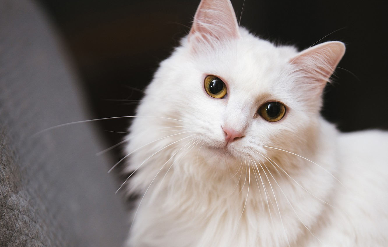 Photo wallpaper cat, white, cat, look, face, background, dark, portrait, white, yellow eyes