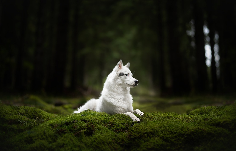 Photo wallpaper forest, moss, dog, white, Husky