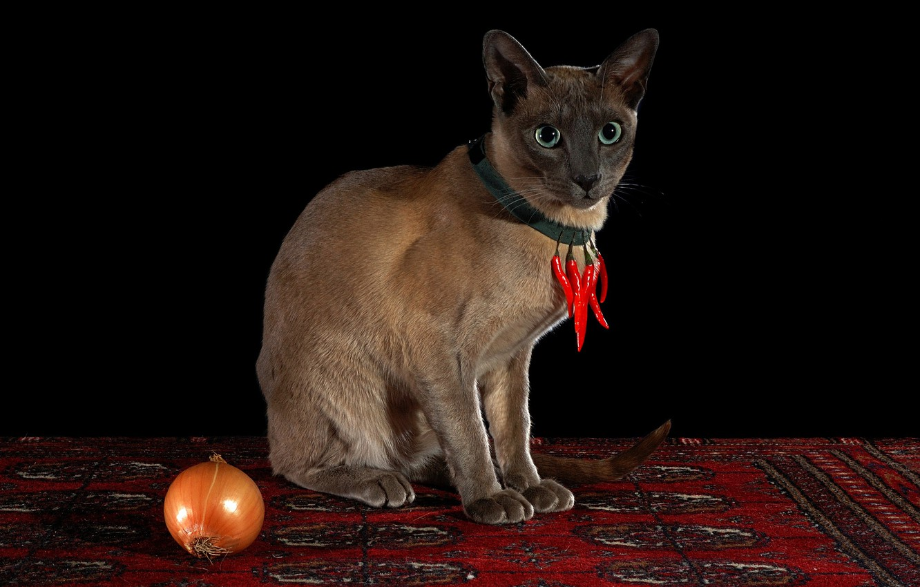 Photo wallpaper cat, look, red, pose, carpet, necklace, pepper, black background, amulet, sharp, sitting, Siamese, hot pepper, …