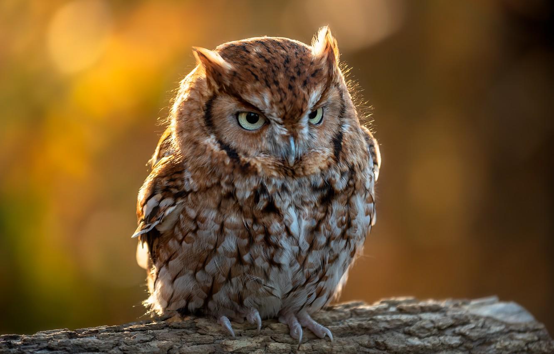 Photo wallpaper background, owl, bird, log, North American scoop