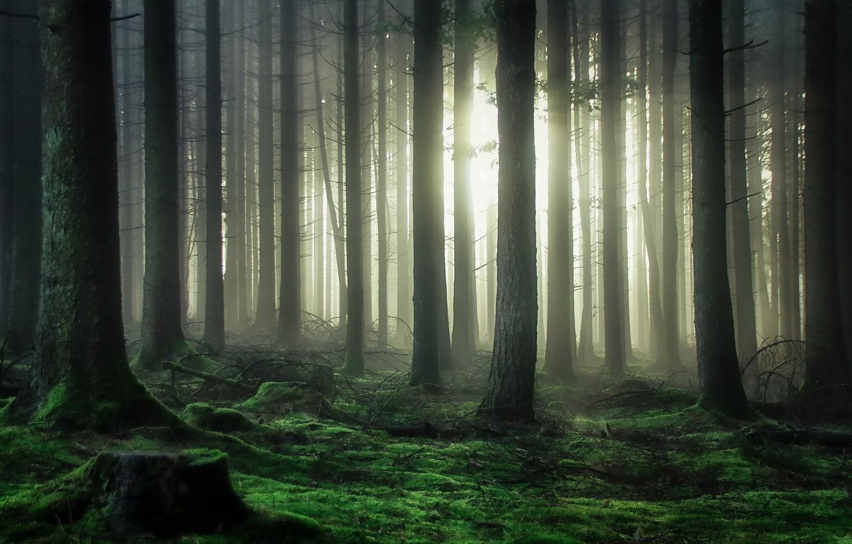 Photo wallpaper forest, light, trees, moss, light, forest, trees, moss, Guy Krier