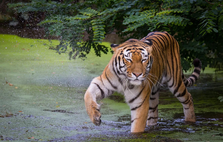 Photo wallpaper tiger, pose, paw, bathing, pond