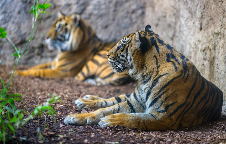 Photo wallpaper predators, a couple, Sumatran tiger