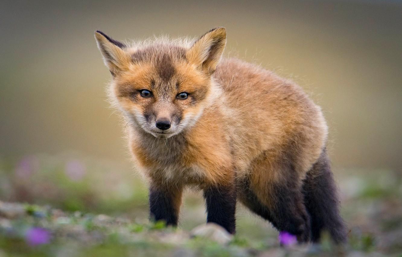Photo wallpaper look, background, glade, baby, red, Fox, face, cub, pretty, Fox, Fox