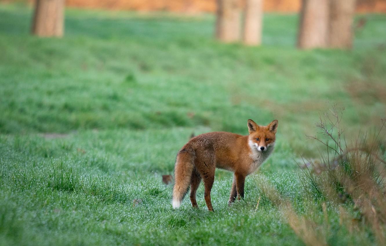 Photo wallpaper field, grass, nature, Rosa, posts, Fox, red, walk, green background